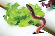 Many people are surprised to hear that worms are an important part of an aquaponic system. Sylvia Bernstein explains why and answers a few commonly asked questions. Anyone who has taught courses or given presentations about media-based aquaponics has experienced the unique reaction people have when they are told that worms are an important part …