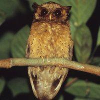 Reddish Scops Owl Image 1