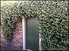 Jasmin wall