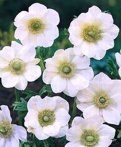 Anemone The Bride - bulb forcing