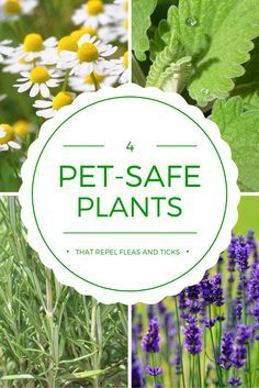 Plants that could actually repel ticks and fleas? Yes! Here are 4 pet safe plants that will do just that.
