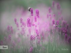 Lavender 21 by Wei-San Ooi  on 500px