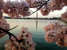Cherry BlossomsDC97_MQ2013