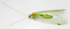 Large spotted Green Lacewing - Leucochrysa insularis