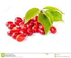 cornelian-cherry-10464676.jpg (1300×1065)