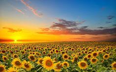 camp de floarea soarelui - Cerca con Google