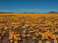 Not many stones to be seen when the flowers are in season in the Tanqua Karoo!