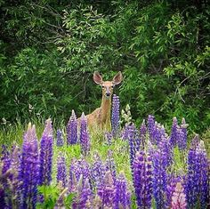 When L.L.Bean field tester Karen Z. headed out to enjoy Maine's blooming lupine, she met somebody else with the same idea. (Photo via Instagram: wishin_i_was_fishing)