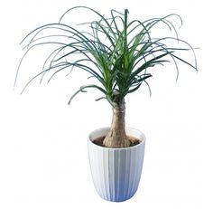 Tr s d coratif l 39 arbuste d 39 int rieur ficus benjamina trouve sa place dans tous les int rieurs - Plante verte appelee pied d elephant ...