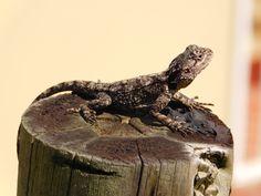 Female Southern Tree Agama #lizard #kzn #kwazulunatal #southcoastkzn #kznsouthcoast #southportkzn Coast, Animals, Animales, Animaux, Animal, Animais, Seaside, Dieren