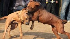 A Final Tribute To Pit Bull Denzel, Rescued From Dog Fighting Ring (VIDEO)