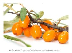 """Sea buckthornis a thorny shrub in Europe and Asia, and its leaves, flowers,seeds and fruits have been used to promote health for thousands of years. The Himalayan sea buckthorn berry is known as """"beauty berry"""" across Europe and Asia. One cup of sea buckthorn provides 22 grams of carbohyd... Shrub, Himalayan, Berry, Seeds, Asia, October, Europe, Plant, Leaves"""