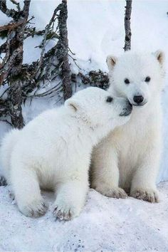 Polar Bear Twin Cubs