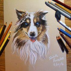 Australian shepherd drawing - prismacolor colored pencil