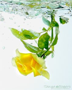 Yellow Rose Underwater - TanyasPhotos.com