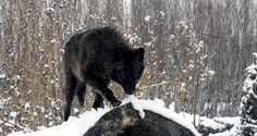 cropped-black-wolf-wallpaper-wallpaper-21.jpg