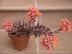 Echeveria 'Serrana' is a small, succulent plant that forms rosettes up to 6 inches cm) tall and up to 4 inches cm) in diameter. Cactus House Plants, Small Succulent Plants, Flowering Succulents, Growing Succulents, Succulent Terrarium, Cacti And Succulents, Planting Succulents, Cacti Garden, Echeveria