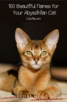 Looking for some beautiful Abyssinian cat names? Check out 100 that we love, inspired by their color, heritage, and more!