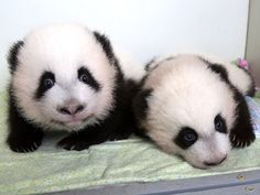 Giant panda twin cubs Mei Huan (l.) and Mei Lun, the first pair of twin giant panda cubs to be born in the United States and survive, are pictured in this Zoo Atlanta photo released to Reuters on Zoo Animals, Animals And Pets, Cute Animals, Panda Names, Atlanta Zoo, Atlanta Georgia, Animal 2, Animal Pics, Cute Panda