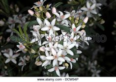 Image result for wax flower