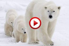 Polar Bear Mom And Cubs Video #animals, #bears, #videos, #pinsland, https://apps.facebook.com/yangutu