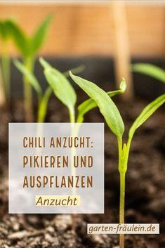 Chili Anzucht: pikieren und auspflanzen