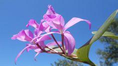 Fotos de la flor de la orquídea Cattleya Rosa