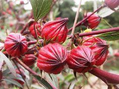 180 Seeds Roselle Hibiscus sabdariffa Herb Jamaica Sorrel Red Flowers Cranberry F37 by seedsshop on Etsy https://www.etsy.com/listing/192188260/180-seeds-roselle-hibiscus-sabdariffa