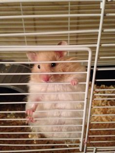 Hector ❤️ my long haired syrian hamster