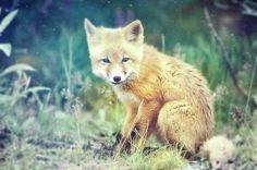 I want a fox