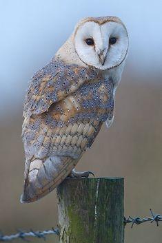 Barn Owl by Glen Crowe on eagle owls of paradise birds Owl Bird, Bird Art, Pet Birds, Beautiful Owl, Animals Beautiful, Cute Animals, Owl Photos, Owl Pictures, Tier Fotos