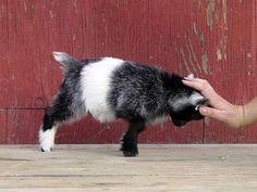 full-grown-pygmy-goat