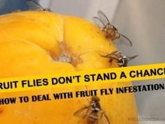 If you are wondering how to get rid of fruit fly infestation, here are some of the easiest solutions to the problem, including some very effective homemade fruit fly traps: Nose Piercing Care, Keloid Piercing, Piercing Aftercare, Homemade Fruit Fly Trap, Natural Facial Hair Removal, Stop Dog Chewing, Getting Rid Of Skunks, Essential Oils For Asthma