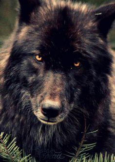 moon dog (wolf mix)