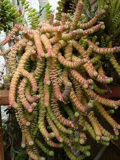 Crassula marneriana World of Succulents