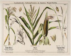 prentenboek maïs - Google zoeken