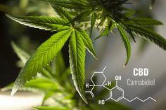 CBD, prescurtarea de la Canabidiol, este o substanta chimica naturala a plantei Cannabis Sativa (canepa). CBD este recunoscut pentru proprietățile sale antiinflamatorii, antioxidante si antivirale, iar cercetătorii se întreabă dacă un regim care să includă ...