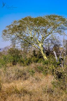#fevertree #tree #jesuitbark #jesuitpowder #africa #southafrica #rogueaurora #landscape #landscapephotography #nature #naturephotography