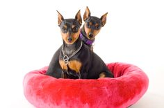 Miniature Pinscher | History and Health