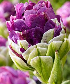Flower Bulbs | Bakker.com