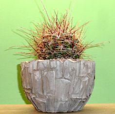 hamatocactus