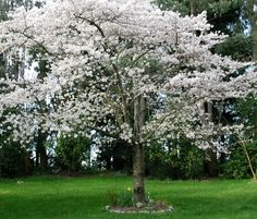 pictures of flower trees - Google Search
