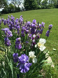 My little Iris patch