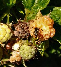 Dr. Dirt: Save the honeybees, dodge the yellowjackets, pumpkin pollination, and how to eradicate poison ivy without killing surrounding ivy or other groundcover