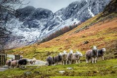 pagewoman:  Herdwick Sheep Buttermere Lake District Cumbria...