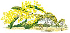 Commonwealth - Floral Emblems - Australian Plant Information Australian Plants, Australian Flowers, Australian Bush, Anzac Day, Plant Information, Isabel Ii, All Flowers, Daffodils, Cactus Plants