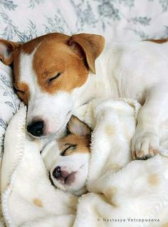 Jack Russell Terrier - A Dog in One Pack - Champion Dogs Cute Puppies, Cute Dogs, Dogs And Puppies, Doggies, Maltese Puppies, Baby Animals, Cute Animals, Jack Russell Puppies, Jack Russell Terriers