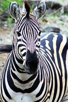 Zebra in Kruger National Park, South Africa O. I just love Zebras! Animals Of The World, Animals And Pets, Cute Animals, Zebras, Kruger National Park, National Parks, Beautiful Creatures, Animals Beautiful, Tier Fotos