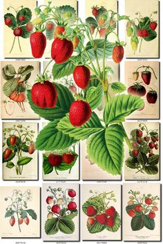 STRAWBERRY-1 Collection of 80 vintage images pictures High