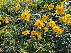 Ψευτοκολοκάσι - Αγκινάρα της Ιερουσαλήμ Athens, Herbalism, Plants, Gardening, Herbal Medicine, Garten, Planters, Lawn And Garden, Garden